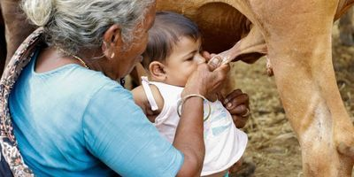 feeding baby from cow in India
